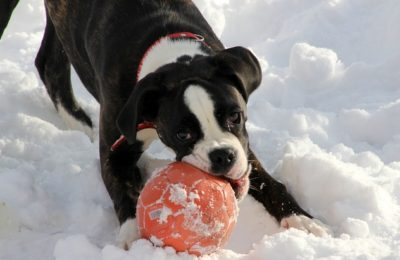 Boxer Puppies And Why You Want One