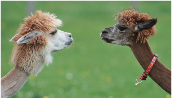 Why Alpaca Sweaters are Hot for Fall Fashion and Better than Cashmere