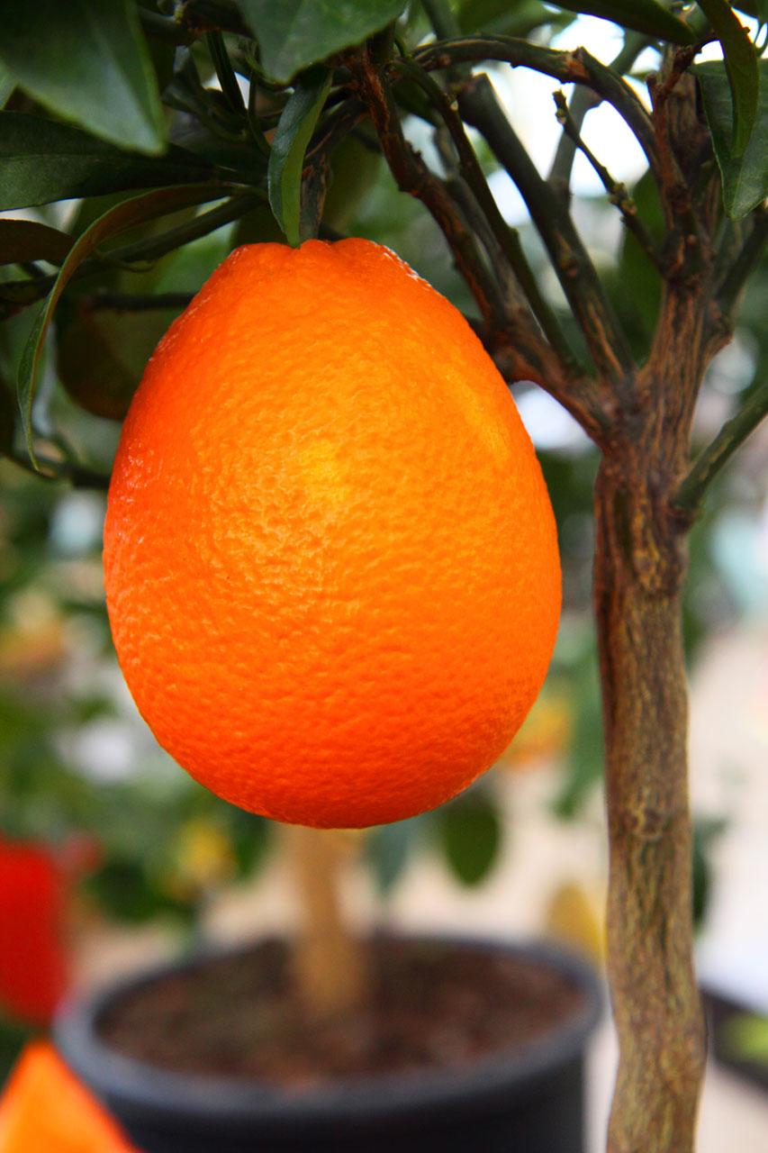 Orange Tree Live A Healthier Lifestyle With 100% Florida Orange Juice!