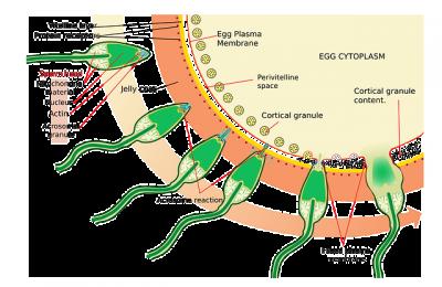 sperm and male fertility