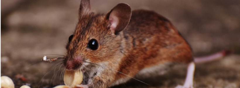Rats Don't Make Ratatouille: 4 Tactics to Keep Pests out of Your Home